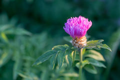 Kwiat wybielanie Chabrowy Obraz Stock