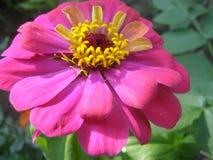 kwiat wzrastał Fotografia Royalty Free