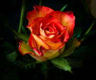 kwiat wzrastał Obraz Royalty Free