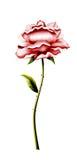 Kwiat wzrastał dla gratulacje Fotografia Stock
