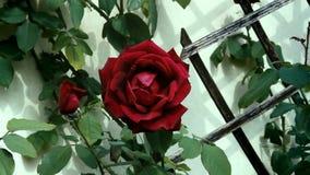 Kwiat wzrastał 4K zdjęcie wideo