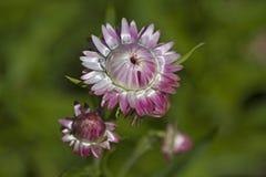 Kwiat Xerochrysum bracteatum Obrazy Royalty Free