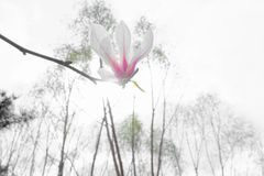 kwiat yulan Obrazy Stock