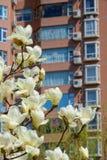 kwiat yulan Zdjęcia Stock