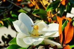 kwiat yulan Zdjęcie Stock