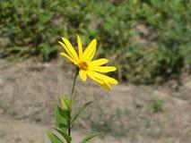 Kwiat z żółtym okwitnięciem Topinambur obraz stock