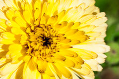 Kwiat z żółtymi płatkami, makro- szczegółowy rysunek kwiecisty pochodzenie wektora obrazy stock