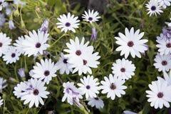 Kwiat z białymi płatkami Dimorphoteca ecklonis Zdjęcie Stock
