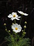 Kwiat z czarnym tłem fotografia stock