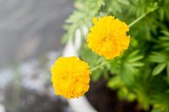 Kwiat z miękkim ostrość kolorem piękny nagietek kwitnie w th Zdjęcia Royalty Free