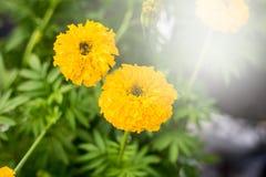 Kwiat z miękkim ostrość kolorem piękny nagietek kwitnie w th Obraz Royalty Free