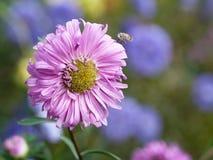 Kwiat z pszczołą Zdjęcia Royalty Free