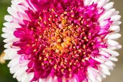 Kwiat z różowymi i białymi płatkami Fotografia Stock