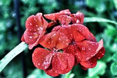Kwiat z raindrops obraz royalty free