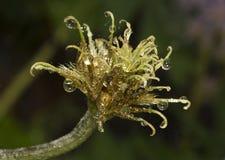 Kwiat z watter kroplami Obraz Royalty Free