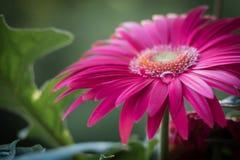 Kwiat z wody kroplą Obrazy Royalty Free