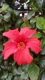 kwiat zadziwiająca czerwień Zdjęcie Royalty Free