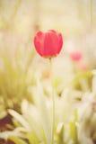 Kwiat Zadziwiającego czerwonego tulipanowego kwiatu & zielonej trawy tło Czerwonego tulipanowego kwiatu Tulipanowy kwiat słodki k Obrazy Royalty Free