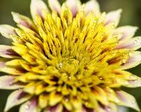 Kwiat zakrywający w kropelkach obrazy royalty free