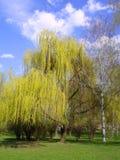kwiat zakwitnąć wiosenne willow żółty Fotografia Royalty Free