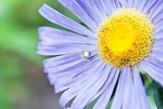 kwiat zamknięta purpura podnosi Zdjęcia Stock