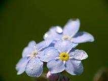 kwiat zapomina ja nie Obraz Royalty Free