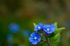 kwiat zapomina ja nie Obrazy Royalty Free