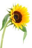 kwiat zbierania słońce Obrazy Stock