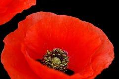 kwiat zbliżania poppy zdjęcia royalty free