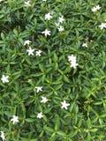 kwiat zieleń opuszczać biel Zdjęcia Stock