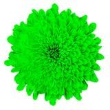 Kwiat zielona chryzantema odizolowywająca na białym tle zamknięty pączkowy zamknięty kwiat bell świątecznej element projektu Fotografia Stock