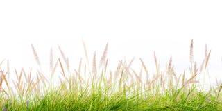 Kwiat zielonej trawy świeża wiosna odizolowywająca Zdjęcia Stock
