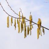 Kwiatonośnej leszczyny hazelnut Orzechowe bazie dalej zdjęcia royalty free