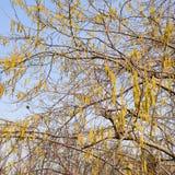 Kwiatonośnej leszczyny hazelnut Orzechowe bazie zdjęcie stock