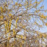 Kwiatonośnej leszczyny hazelnut Orzechowe bazie zdjęcie royalty free