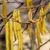 Kwiatonośnej leszczyny hazelnut zdjęcie stock