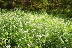 Kwiatonośny wielki cress Cardamine amara fotografia stock