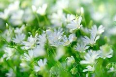 Kwiatonośna łąka, biała łąka kwitnie kwiecenie - kwitnący w wiośnie Obraz Royalty Free
