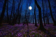 Kwiatonośna łąka z purpurowym krokusem lub szafranem kwitnie w blask księżyca przeciw dębowemu lasowemu tłu, zadziwiający noc kra obrazy stock