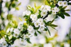 Kwiatonośna śliwka Zdjęcia Stock