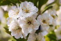 Kwiatonośna śliwka Zdjęcie Stock