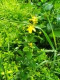 Kwiatonośna żółta glistnik roślina w lesie obraz stock