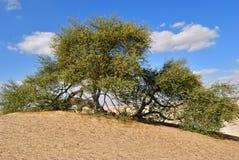 Kwiatonośna akacja w Sahara, Egipt zdjęcie stock