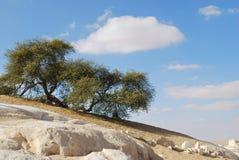 Kwiatonośna akacja w Sahara, Egipt obrazy stock