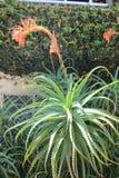 Kwiatonośna aloesu Vera roślina Obrazy Royalty Free
