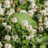 Kwiatonośna biała koniczyna Zdjęcie Royalty Free