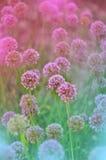 Kwiatonośna cebula zdjęcia royalty free