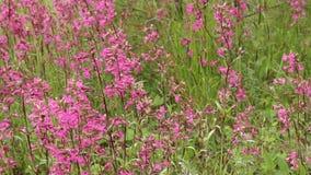 Kwiatonośna czerwona łąka kwitnie na letnim dniu zbiory