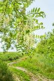 Kwiatonośna gałąź akacja na tło drodze zdjęcia royalty free