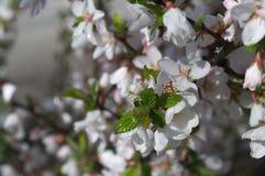 Kwiatonośna gałąź Apple tło zamazuje Obrazy Stock